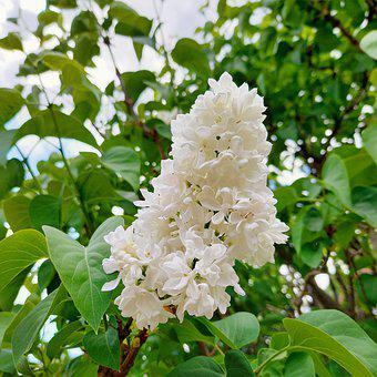 Lilacs, Flowers, Inflorescence, White Lilacs, Bloom