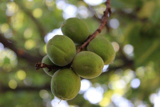 Apricot, Spring, Fruit, Orchard, Garden, Bio, Eco