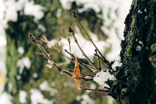Tree, Sprouted Grains, Bud, Winter, Cold, Nature