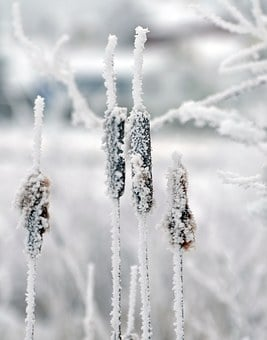 Cattails, Winter, Snow, Cold, Bulrush, Brown, Landscape