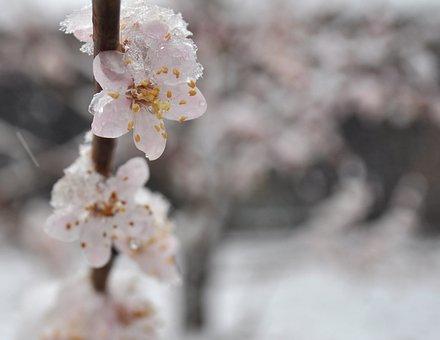 Apricot, Flowers, Bloom, Branch, Blossom, Petal, Fresh