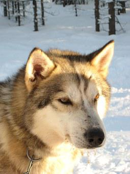 Dog, Hees, Finland, Winter, Cold, Lapland, Snow