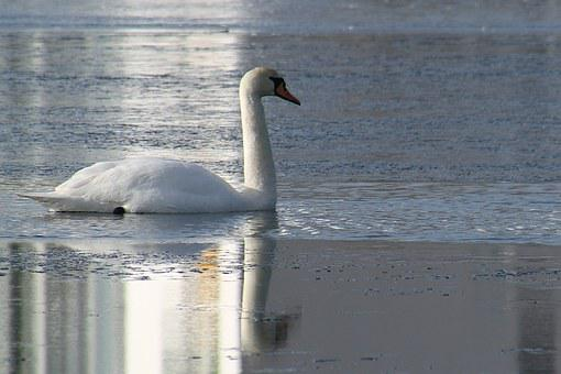Swan, Winter, Natural, Frost, Water, Lake, Ice Cream