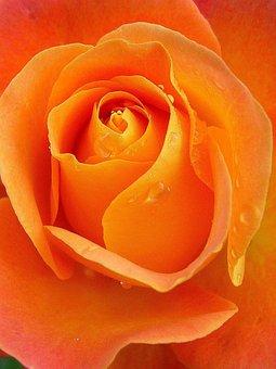 Rose, Raindrops, Apricot, Orange, Flower, Bloom