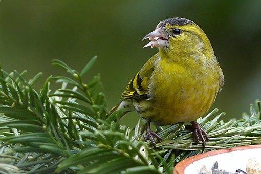 Bird, Siskins, Spinus Psaltria, Winter, Garden