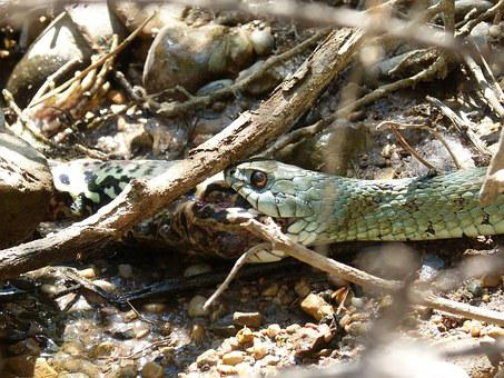 Snake Eating A Frog, Natrix Natrix, Snake Necklace