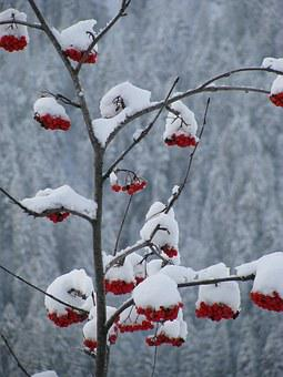 Red, Berries, Snow, Nature, Redcurrant