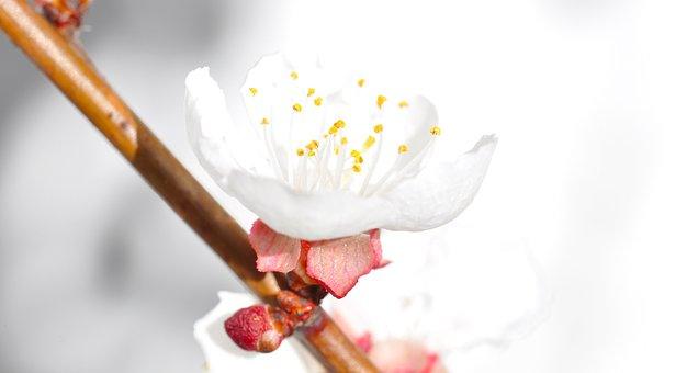 Apricot Blossom, Blossom, Bloom, Branch, White, Tender
