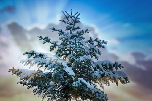 Tree, Tree Top, Conifer, Winter, Snow, Snowy, Sky