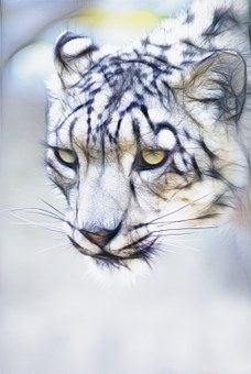 Snow Leopard, Cat, Feline, Animal, Nature, Mammal, Wild
