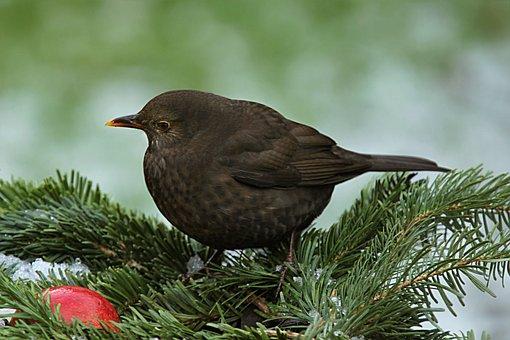 Throttle, Turdus Philomelos, Bird, Winter, Garden