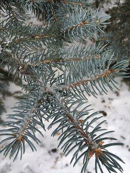 Pine Needles, Spruce, Pine, Tree, Winter, Branch, Fir