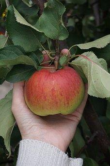 Apple, Hand, Tree, Apple Picking, Leaves, Foliage