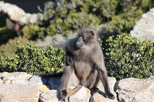Baboon, Monkey, Primate, Wild, Animal, Wildlife, Nature