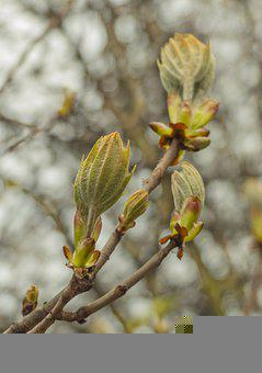 Chestnut Tree, Leaves, Buds, Branch, Foliage, Spring