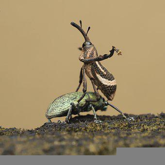 Bug, Weevil, Scarab, Insect, Creature, Animal