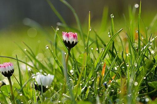 Daisy, Grass, Dew, Flowers, Morning Dew, Dewdrops