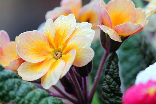 Primrose, Flower, Dew, Dewdrops, Droplets