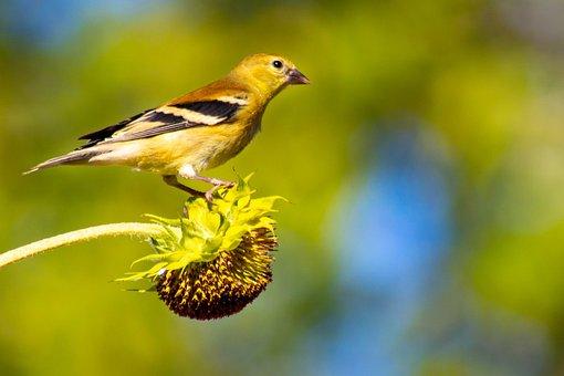 Bird, Sunflower, Goldfinch, Nature, Food, Songbird
