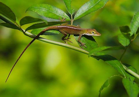 Reptile, Lizard, Animal, Backyard, Green, Hunting