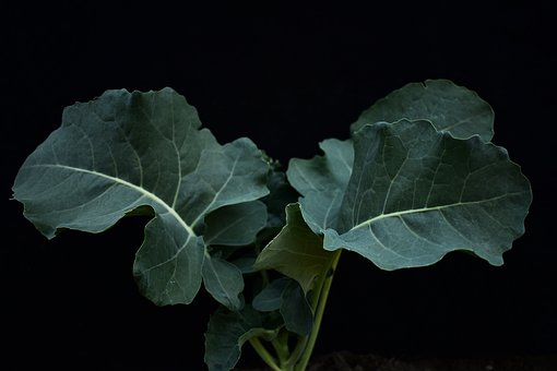 Broccoli, Vegetables, Plants, Leaves, Foliage, Green