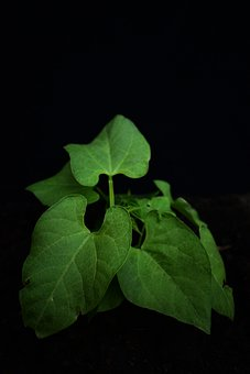 Bean, Legumes, Vegetable, Plant, Green, Agriculture