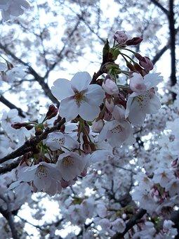 Korea, Cherry, Sakura, Flowers, Branches, White Flowers