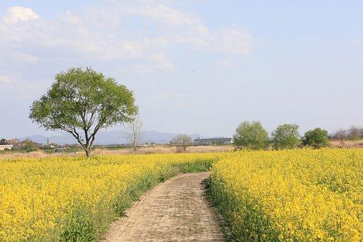 Rape Flowers, Flowers, Fiedl, Meadow, Path, Trail