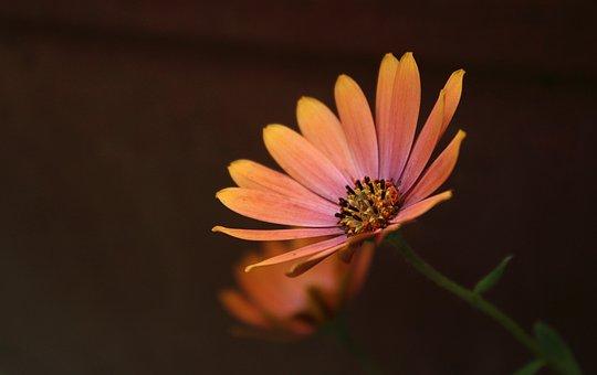Daisy, Flower, Plant, Petals, Orange Flower