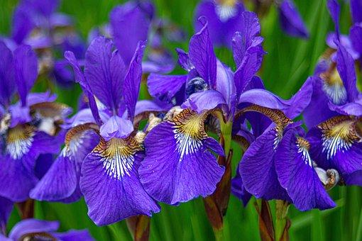 Iris, Flower, Bloom, Blossom, Nature, Plant, Spring