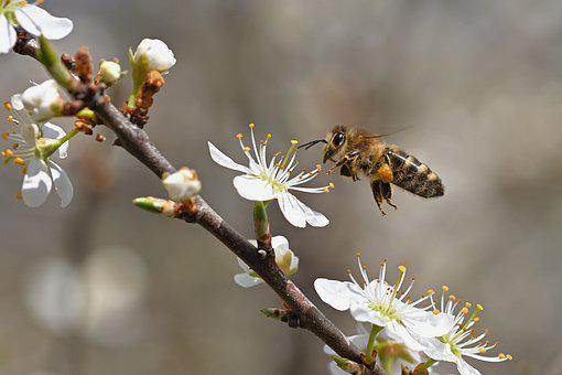Bee, Insect, Flowers, Honey Bee, Blackthorn, Plant