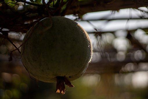 Gourd, Plant, Orchard, Pumpkin, Vegetable, Organic