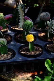 Cactus, Succulents, Plants, Flowers, Pot, Nature