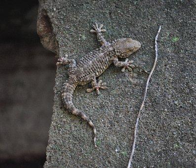 Lizard, Gecko, Reptile, Scale, Animal, Nature, Eye