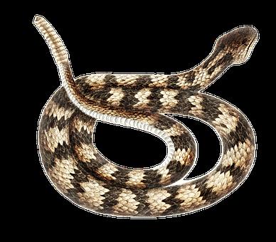 Snake, Animal, Wildlife, Rattlesnake, Serpent, Reptile
