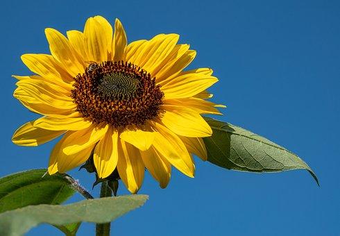 Sunflower, Sky, Flower, Yellow Petals, Petals