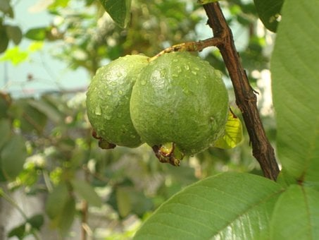 Guava, Fruits, Water Droplets, Green, Leaves, Food