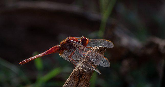 Dragonfly, Insect, Wood, Red Dragonfly, Wings, Nature