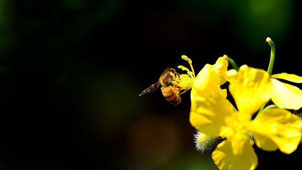 Yellow Flower, Bee, Pollinate, Pollination, Insect