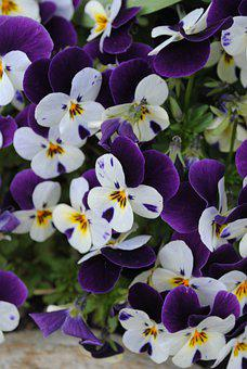 Pansies, Violet, Flowers, Nature, Flora, Bloom, Blossom