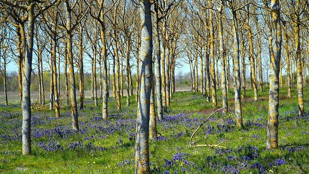 Trees, Grape Hyacinths, Flowers, Blue Flowers, Field
