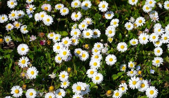Daisies, White Daisies, Flowers, White Flowers, Blossom