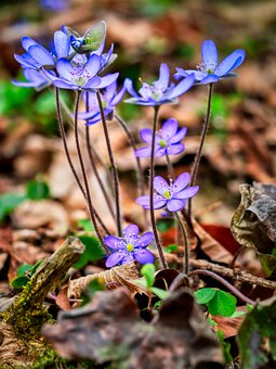 Hepatica, Flowers, Plant, Petals, Violet Flowers
