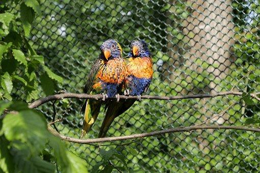 Parrots, Loriini, Lorikeet, Pair, Animals, Moult