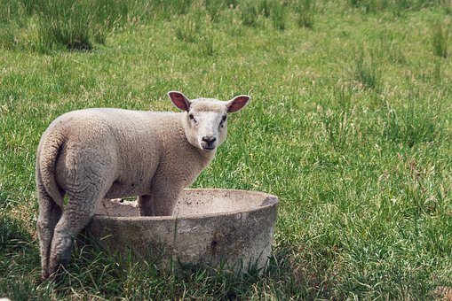 Sheep, Animal, Meadow, Lamb, Young Animal, Mammal