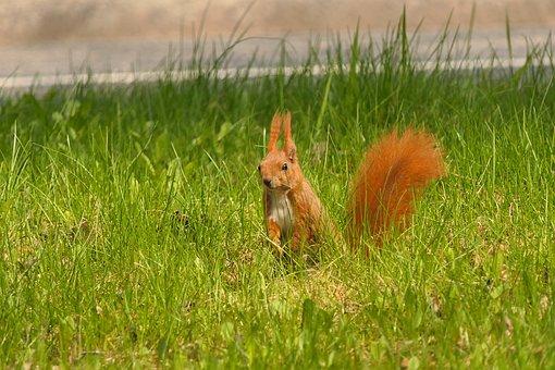 Squirrel, Rodent, Grass, Wildlife, Wilderness, Nature