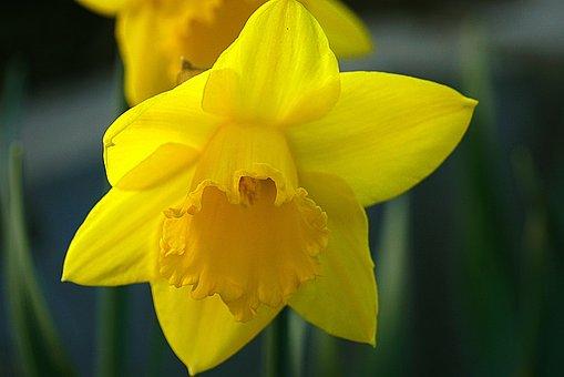 New Daffodil, Yellow Flower, Daffodil Yellow, Daffodil