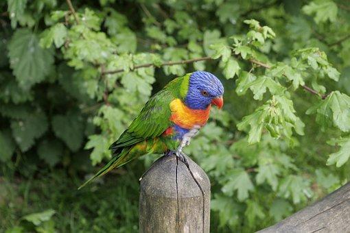 Loriini, Lorikeet, Ornithology Animals, Lori