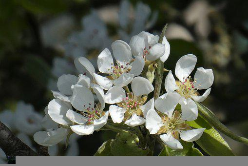 Pear Blossoms, White Flowers, Pear Tree, Blossom