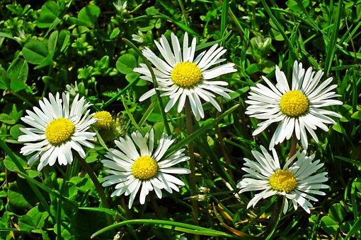 Daisies, Flowers, Plants, Petals, White Flowers, Grass